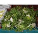 1 kg Pissenlits verts de notre production sans traitement