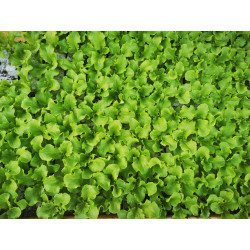 plants de batavia verte (les 12)