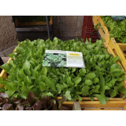 plants de laitue verte (les 12)