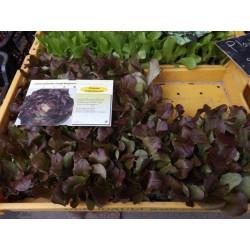 plants de laitue rouge (les 12)