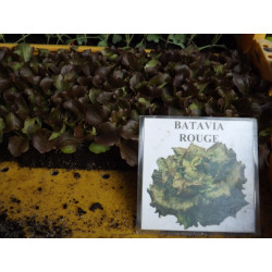 plants de batavia rouge (les 12)