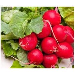 2 bottes de radis rouges de notre production sans traitement