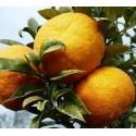 2 kg ORANGES AMERES BIO origine Sicile