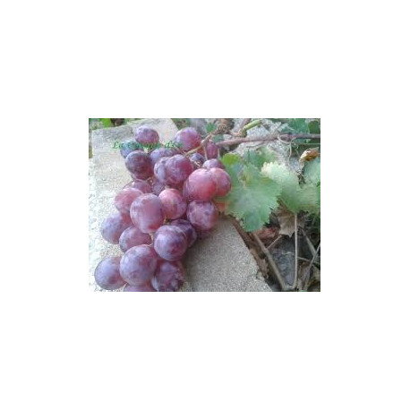 1 GRAPPE DE RAISIN NOIR BIO origine Sicile (environ 600g)