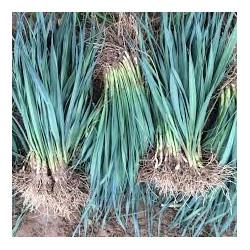 Plants de POIREAUX D HIVER  - les 100