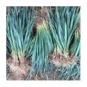 Plants de POIREAUX D'HIVER LES 150