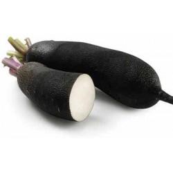 1 Radis Noir LONG  de notre production sans traitement